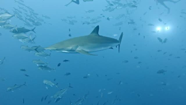 silky sharks (carcharhinus falciformis) and shoal of mackerel - school of fish stock videos & royalty-free footage