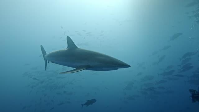 silky sharks (carcharhinus falciformis) and shoal of mackerel - silky shark stock videos & royalty-free footage
