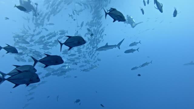 stockvideo's en b-roll-footage met silky sharks (carcharhinus falciformis) and shoal of mackerel - zijdehaai
