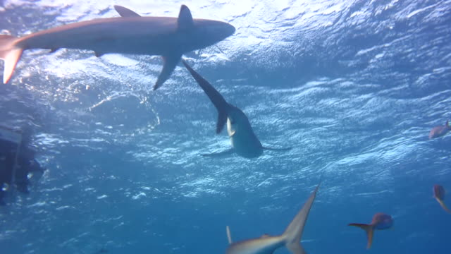 Silky Sharks At The Surface