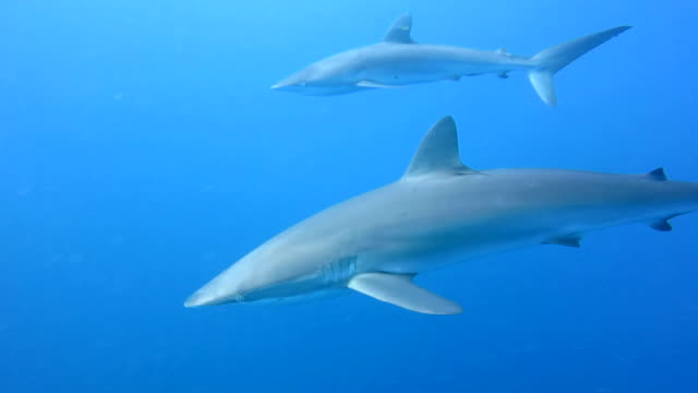 Silky Sharks In Blue Water