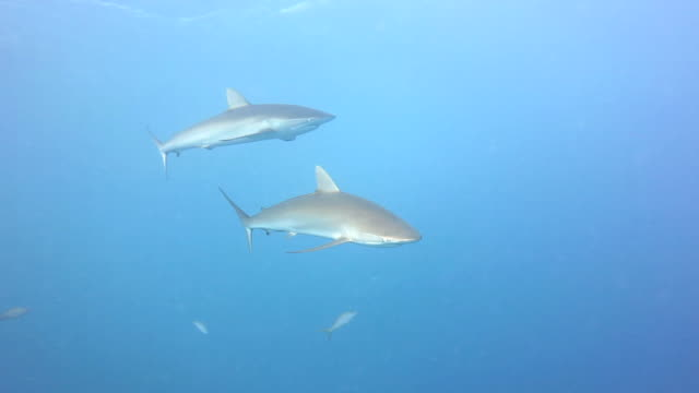 Silky Sharks In The Blue