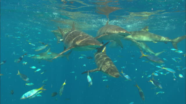 Silky sharks schooling feeding near surface, Saudi Arabia, Gulf
