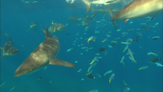 Silky sharks schooling feeding on bait near surface close to camera, Saudi Arabia, Gulf