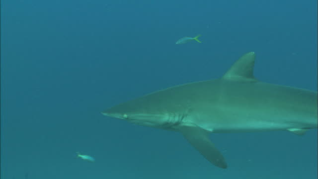 Silky sharks, solo passes, Saudi Arabia, Gulf