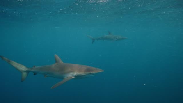 silky sharks - silky shark stock videos & royalty-free footage