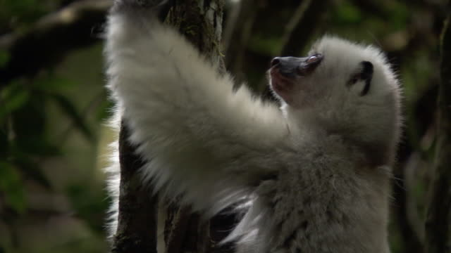 silky sifaka (propithecus candidus) lemur leaps away in forest, madagascar - smooth stock videos & royalty-free footage