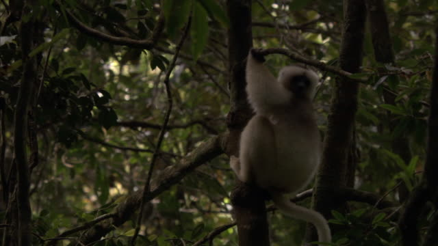 Silky sifaka (Propithecus candidus) lemur leaps away in forest, Madagascar