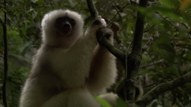 Silky sifaka (Propithecus candidus) lemur looks around in forest, Madagascar