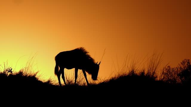 Sillohette Of Wildebeest Grazing Maasai Mara  Kenya  Africa