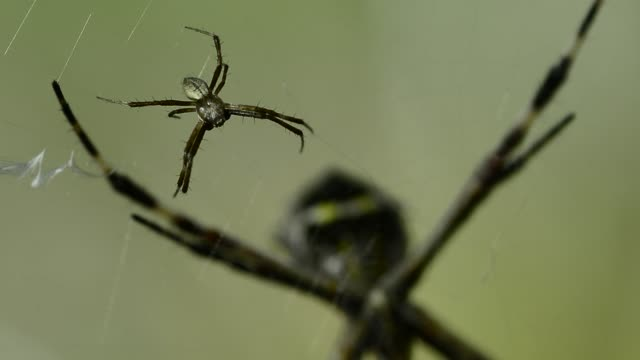 silver argiope spiders. - arachnophobia stock videos & royalty-free footage