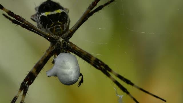 Silver Argiope Spiders.