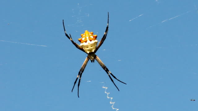 silver argiope (writing spider) - arachnid stock videos and b-roll footage