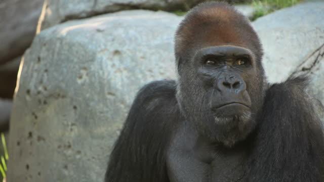 Silver Rücken Gorilla (Full HD