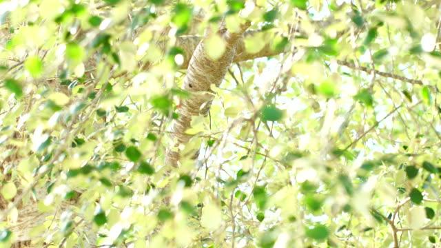 Silver birch or warty birch 4K
