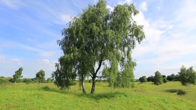 Silver Birch Tree (Betula pendula), Barnack Hills and Holes, English Nature National Reserve, Peterborough, Cambridgeshire, England, UK