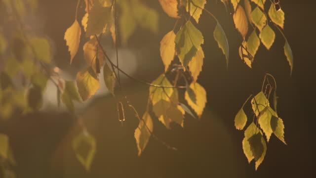 アメリカシラカンバの木 - カバノキ点の映像素材/bロール
