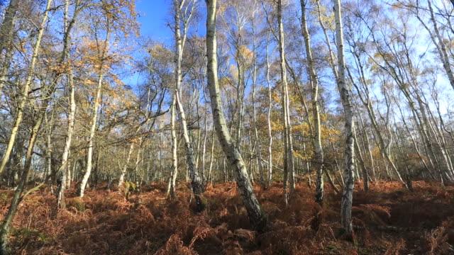 stockvideo's en b-roll-footage met silver birch trees at holme fen - berk