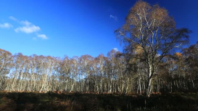 Silver Birch trees at Holme Fen
