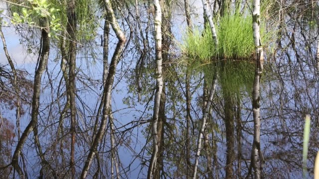 silver birch trees reflected in a pool at foulshaw nature reserve, a lowland raised bog in south cumbria, uk. - カバノキ点の映像素材/bロール
