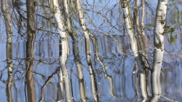 silver birch trees reflected in a pool at foulshaw nature reserve, a lowland raised bog in south cumbria, uk. - distorted stock videos & royalty-free footage