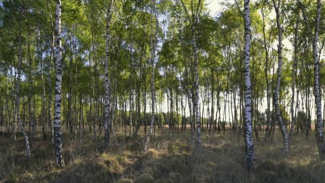 stockvideo's en b-roll-footage met silver birch trees - berk