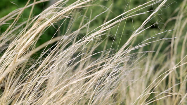 silver feather grass swaying in wind - swaying stock videos & royalty-free footage