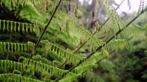 silver fern in new zealand forest - 葉状体点の映像素材/bロール