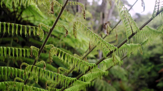 silver fern in new zealand forest - new zealand stock videos & royalty-free footage