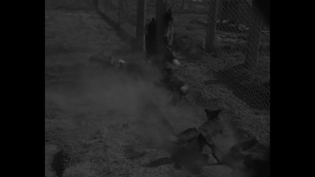 stockvideo's en b-roll-footage met silver fox farm / cu fox / 5 men each hold a fox by hind legs to show off pelt / foxes run jump play / fox pelts tagged and fluffed / pelt auction /... - dierenhaar