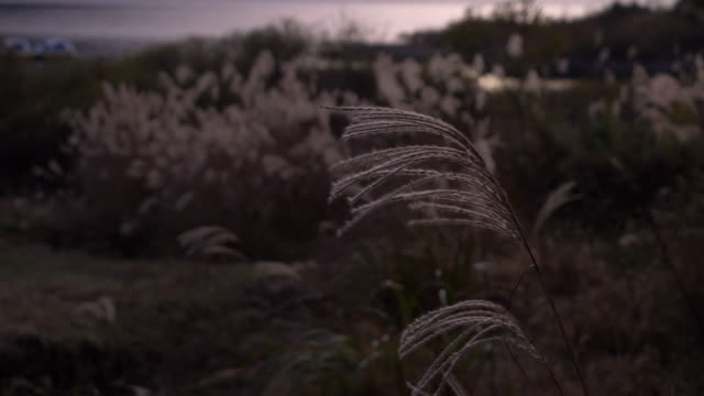 silver grass swaying in the wind at dusk - satoyama scenery stock videos & royalty-free footage