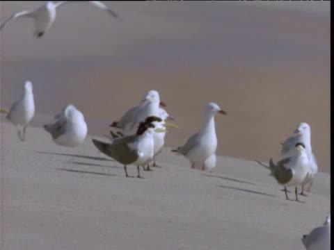 Silver gulls and crested terns walk on sandy beach, Shark Bay, Western Australia