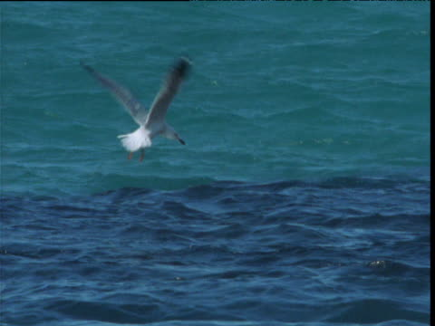 silver gulls plunge into sea to catch bait balling sardines, shark bay, western australia - shark bay stock videos & royalty-free footage