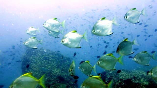 vídeos y material grabado en eventos de stock de plata el bajío de pescados de diamante lunar pescado batfish (monodactylus argenteus) en laguna de poca profundidad, phi phi, tailandia. - vista marina