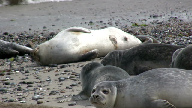 silver seals lying on the beach relaxing - helgoland stock videos & royalty-free footage