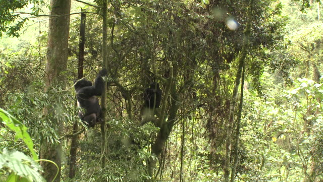 A silverback and a young gorilla climb trees. Available in HD.