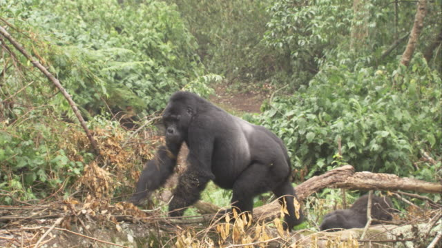 A silverback gorilla climbs over dead trees near other gorillas. Available in HD.