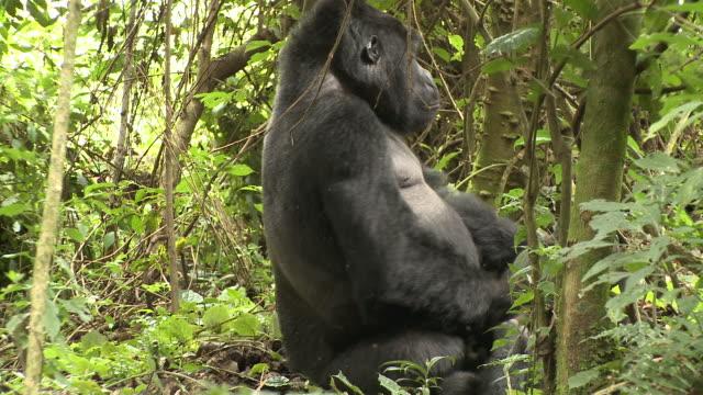 A silverback gorilla cuddles with a juvenile gorilla. Available in HD.