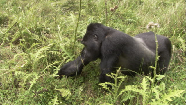 A silverback gorilla eats and forages in a clearing. Available in HD.