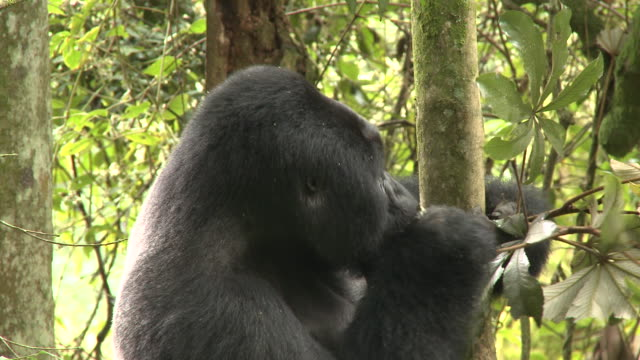A silverback gorilla eats leaves while clinging to a tree. Available in HD.