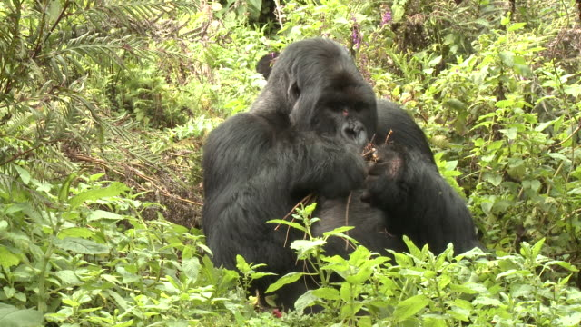 A silverback gorilla feeds on leaves in the Volcanoes National Park of Rwanda. Available in HD.