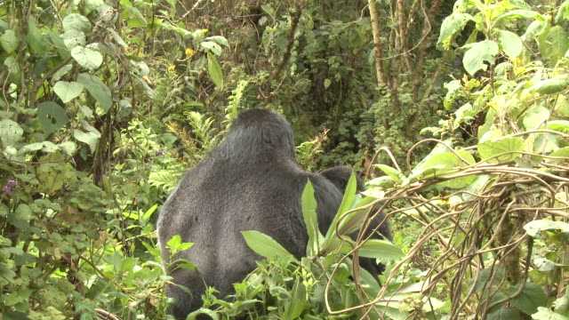 A silverback gorilla feeds on vegetation in the Volcanoes National Park of Rwanda. Available in HD.