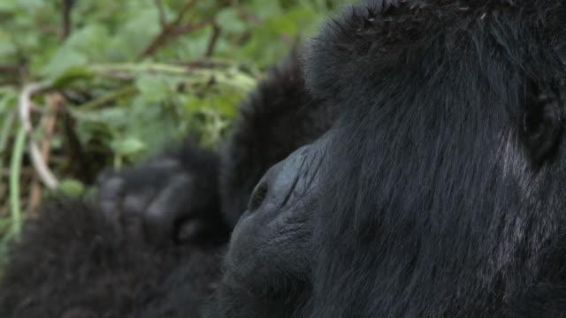 Silverback gorilla looking left
