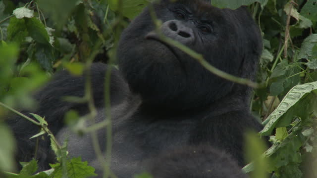 A silverback gorilla rests in a leafy tree. Available in HD.