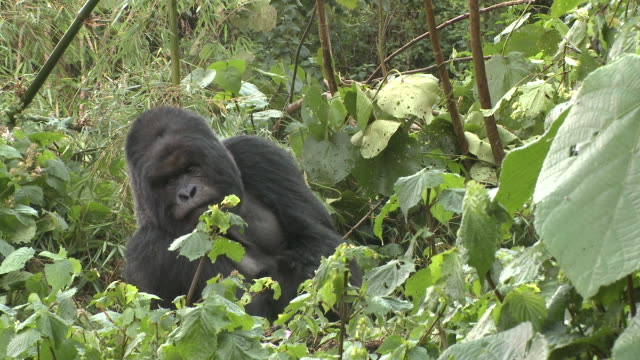 A silverback gorilla scratches itself amongst foliage in Rwanda's Volcanoes National Park. Available in HD.