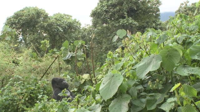 A silverback gorilla sits amongst foliage in Rwanda's Volcanoes National Park. Available in HD.