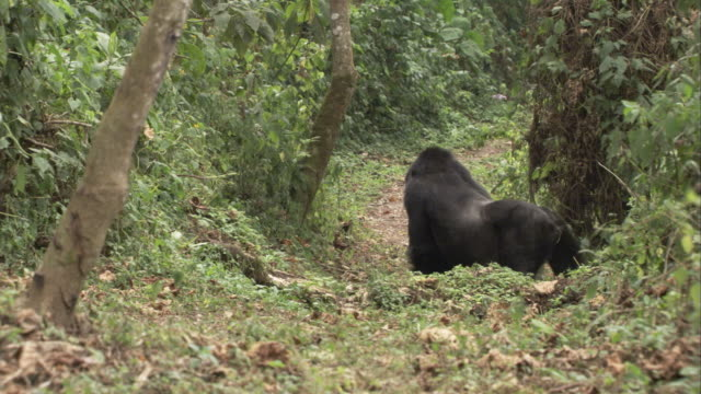 A silverback gorilla stands and listens on a forest path. Available in HD.