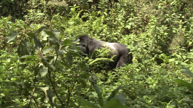 A silverback gorilla strides through foliage in the Volcanoes National Park of Rwanda. Available in HD.