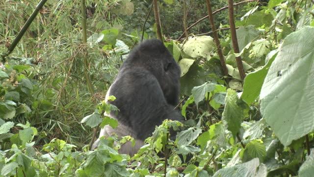 a silverback gorilla walks amongst foliage in rwanda's volcanoes national park. available in hd. - parc national des volcans rwanda stock videos and b-roll footage