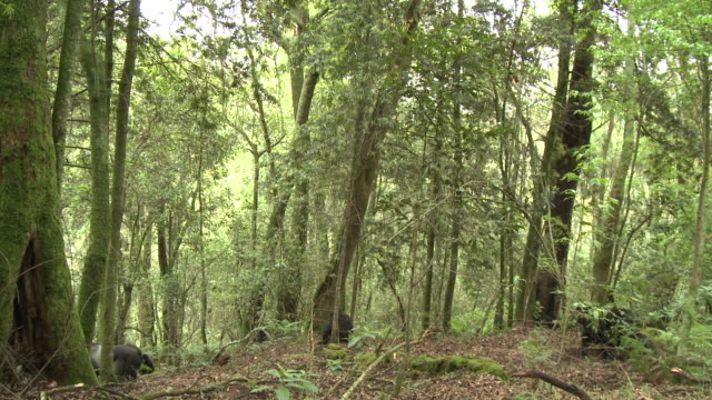 Silverback gorilla walks through trees in Volcanoes National Park in Rwanda followed by rest of group. Available in HD.